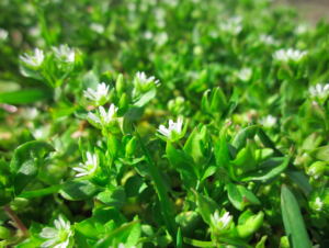 the weed chickweed blooming and green